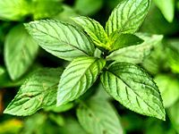 Items similar to 1 oz Peppermint Essential oil on Etsy Essential Oils Wholesale, Organic Essential Oils, Comment Planter, Irritable Bowel Syndrome, Marijuana Plants, Healing Herbs, Natural Healing, Plantation, Organic Oil
