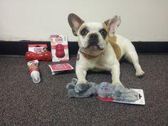 Brigitte (AKA Stella) from the hit show Modern Family enjoying her new KONG toys :)