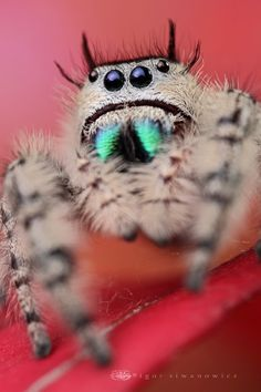 Macrophotograph Spider (portia?) - Igor siwanowicz