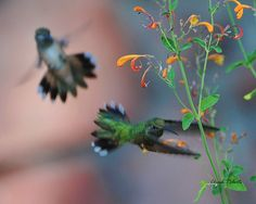 Helter skelter ... two female Broad-tailed Hummingbirds eying the same blossom! by colorob, via Flickr