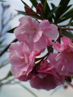 Isadore Dyer Oleander - Shrubs & Trees - All Galveston Island, Rosy Pink, Shrubs, Perennials, Capital City, Grandchildren, Rose, Art Reference, Natural Beauty