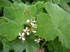 PEPPERMINT SCENTED GERANIUM Large velvet soft green leaves have a strong peppermint scent. Somewhat trailing growth habit. Can be grown in containers or large hanging baskets. Small white flowers when in bloom. Perennial zones 11+