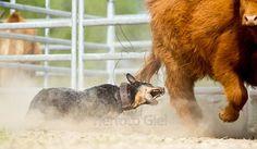 """""""Australian Cattle Dog beim Herding"""" Listen!"""