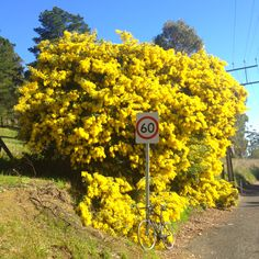 The 86 best wattle images on pinterest acacia native australians wattle tree in full spring furyabsoutely one of the best natural perfumes you will ever smell aka mimosa it is native to australia mightylinksfo