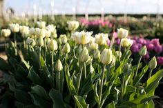 Čistě bílý plnokvětý tulipán s občasným zeleným žilkováním a středem smetanové barvy. Fruit, Plants, Plant, Planets
