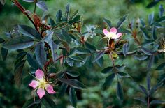 Find help & information on Rosa glauca Pourr. (S) red-leaved rose from the RHS Planting Shrubs, Garden Plants, 2nd October, Family Garden, Garden Projects, Dark Grey, Gardens, Backyard, Leaves
