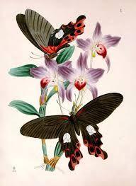 Image result for vintage butterfly illustrations