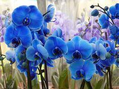 Orkide, Mavi, Çiçek, Güzel, Bitki, Tropikal, Keukenhof