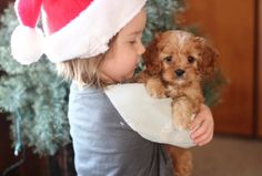 Meet our adorable Cavalier and Cavapoo puppies for sale. All pups have a Health Guarantee and are Well Socialized by our family at Willow Ridge farm! King Charles Puppy, King Charles Spaniel, Cavalier King Charles, Forever Puppy, Cavapoo Puppies For Sale, Poodle Mix, Puppy Food, Therapy Dogs, New Puppy