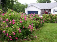 Hardy, drought resistant with berries in the fall - These are excellent, carefree shrub roses for landscape use. There's a rugosa rose for everyones tastes and needs. Shade Garden, Garden Plants, Flower Gardening, Rose Hedge, Shrub Roses, Coastal Gardens, Flower Landscape, Rose Bush, Landscaping Plants