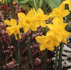 Narcissus 'Sweetness'