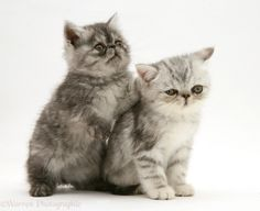 exotic british short haired  cats   WP30942 Smoke and silver Exotic shorthair kittens.