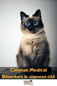 Siamese Cat S Common Medical Disorders Siameseofday In 2020 Siamese Cats Siamese Baby Cats