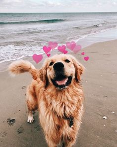 The Golden Retrievers - Champion Dogs Cute Funny Animals, Cute Baby Animals, Animals And Pets, Cute Dogs And Puppies, I Love Dogs, Doggies, Cute Dog Wallpaper, Cute Creatures, Dog Lovers