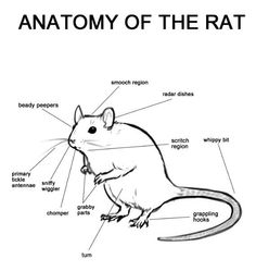 Anatomy of the rat: Beware of the whippy bit when rat is on your shoulder.they will slap you in the face>>so true 😂 Hamsters, Gerbil, Rodents, Funny Rats, Cute Rats, Animals And Pets, Baby Animals, Cute Animals, Strange Animals
