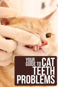 Your complete guide to cat teeth problems – Cat health and care info. Your complete guide to cat teeth problems – Cat health and care info. Cat Care Tips, Pet Care, Pet Tips, Puppy Care, Cat Health Care, Health Tips, Health Facts, Purebred Cats, Cat Site