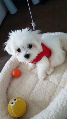 Mini Maltese puppy - Mainly Maltese - Cute Dogs And Puppies, Baby Puppies, Baby Dogs, Doggies, Cute Dog Toys, Cute Baby Animals, Mini Malteser, Funny Dog Memes, Teacup Puppies