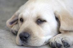 Lab puppy Lab Puppies, Labradors, Dog Art, Labs, Animal Photography, Doggies, Labrador Retriever, Therapy, Pure Products