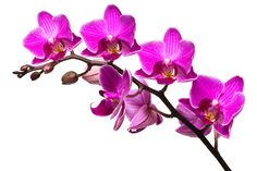 Purple Orchids | purple orchid island girl naturals