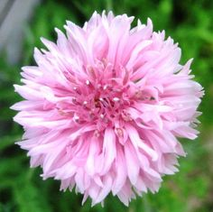 Earthcare Seeds Cornflower Tall Pink Heirloom Bachelors Button 1000 Seeds Centaurea Cyanus EarthCare Seeds http://www.amazon.com/dp/B00J494SU6/ref=cm_sw_r_pi_dp_BSUYtb06VEHD3WRK