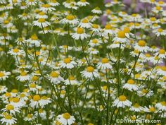 Chamomile prefers a location that's reasonably sunny and with average garden soil. At least 8 hours a day of direct (but not scorching) sunlight is good. If you're in an area where the mid-summer sun is like a blast furnace, go with a location that gets sun until noon or 1 p.m., then part-shade in the afternoon.