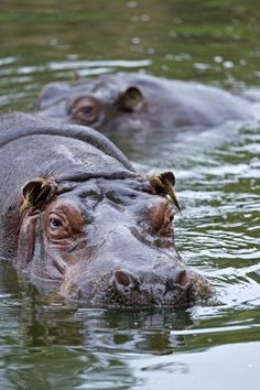 Hippos by Michael. Cute Creatures, Beautiful Creatures, Animals Beautiful, Jungle Animals, Cute Animals, Baby Hippo, African Animals, African Safari, Majestic Animals