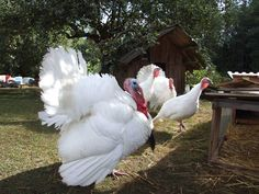 The Midget White turkey is a heritage turkey breed that's one of the best table birds available. This is going to one day be on my yard.
