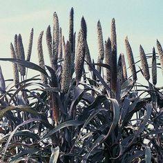 Pennisetum glaucum 'Purple Majesty' Hybrid seeds from Thompson & Morgan - experts in the garden since 1855 Savage Garden, Gothic Garden, Seeds For Sale, Black Garden, Woodland Garden, Black Flowers, Edible Flowers, Edible Garden, Gardens