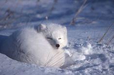 Arctic Fox by on deviantART