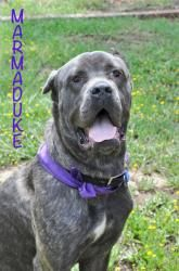 Marmaduke is an adoptable Cane Corso Mastiff Dog in Carlsbad, CA. WOOF! Im Marmaduke ♥ Yes, yessiree, Im really THAT BIG :) The Rescue Lady thinks Im a purebred Cane Corso puppy, born around 2/20/1...