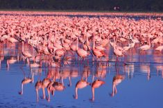 Message From a 50-Year-Old Flamingo | National Geographic Society ...