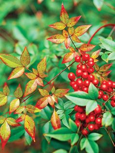 These eye-catching bloomers bring beautiful fall color to Southeastern gardens.