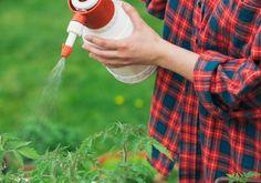 9 secrete, care vă vor permite obținerea unei recoltei bune de roșii. Aflați-le imediat! - Retete Usoare Kraut, Interesting Facts, Plants, Tips