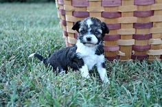 Abi Female Aussie Doodle Will mature very small ! AVAILABLE Nov. 1st, 2013