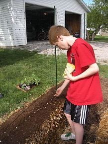 straw bale gardening great in all climates from the arctic to the caribbean islands, container gardening, flowers, gardening, Direct seeding into a seedbed of sterile Planting Mix on the surface of the bales These seedlings grow rapidly due to the extra warmth from the decomposing bale below Once seeded cover with the plastic sheeting to protect from critters frost hard rain etc See more information at