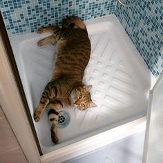 I gatti sono animali stanziali che sono legati più ai posti che alle persone (in foto un sofferente #supplì che esplora il bagno della casa che lo ospita. Davvero terrorizzato) by capolam