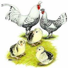 German Spitzhauben Chicks - White eggs
