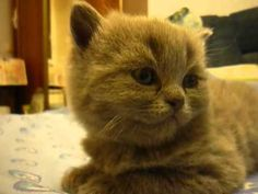 Gato narcoléptico.