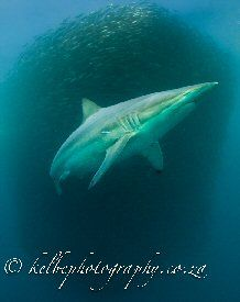 Shark diving Safaris in South Africa and Mozambique, visits to Game Parks and introduction to Zulu culture Shark Diving, Sea Creatures, Whale, Safari, Places To Visit, Africa, Park, Animals, Whales