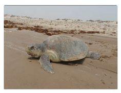Sea Turtle, Inc. South Padre Island Texas Live Sea Turtle Cam Kemp's Ridley Sea Turtle Rescue