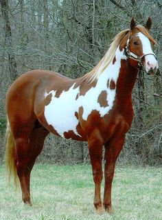 American Paint horse. Developed from horses with genes for spots, Quarter horses, and thoroughbreds, this breed is relatively new to maintain an official registery. It is one of the most popular breeds in the US.