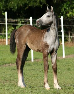 Indigo's Royal Ciera, Grey Gypsy Sporthorse Filly with SPOTS!!!