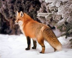 red fox in snow Red Fox Habitat, Red Fox Facts, Beautiful Creatures, Animals Beautiful, Fox In Snow, Photo Animaliere, Fox Art, Cute Fox, Mundo Animal