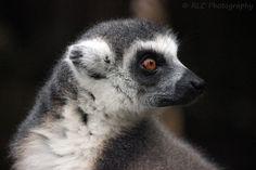 https://flic.kr/p/qM6FMQ | Lemar - Bristol Zoo | September 2013