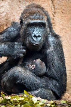 A mother gorilla and her baby in the ape enclosure Pongoland at the Leipzig Zoo in Leipzig, Germany