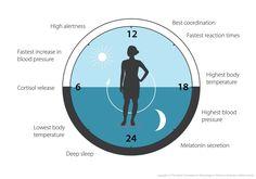 "The Nobel Prize on Twitter: ""Our biological clock helps to regulate sleep patterns, feeding behavior, hormone release and blood pressure #NobelPrize https://t.co/NgL7761AFE"""