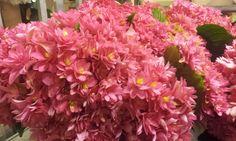 #Hydrangea #Hortensia #Desire; Available at www.barendsen.nl