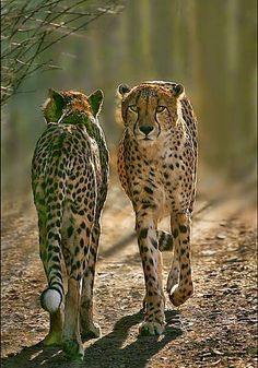Cheetahs, Coming and Going