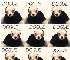 • DOGUE • #chihuahua #longhaired #dog