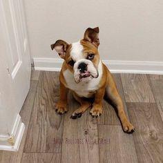 1000 ideas about english bulldog art on pinterest bulldogs english bulldogs and french. Black Bedroom Furniture Sets. Home Design Ideas